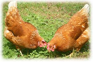 放し飼い鶏飼育
