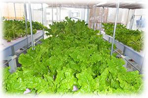 野菜の水耕栽培